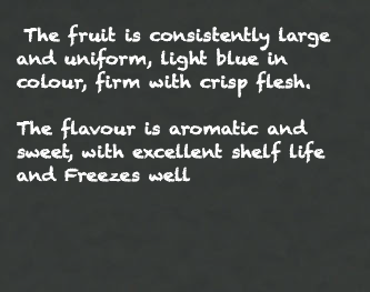 The fruit is consistently large and uniform, light blue in colour, firm with crisp flesh. The flavour is aromatic and sweet, with excellent shelf life and Freezes well