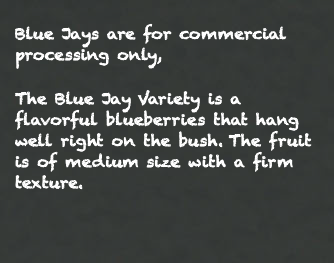 Blue Jays are for commercial processing only, The Blue Jay Variety is a flavorful blueberries that hang well right on the bush. The fruit is of medium size with a firm texture.